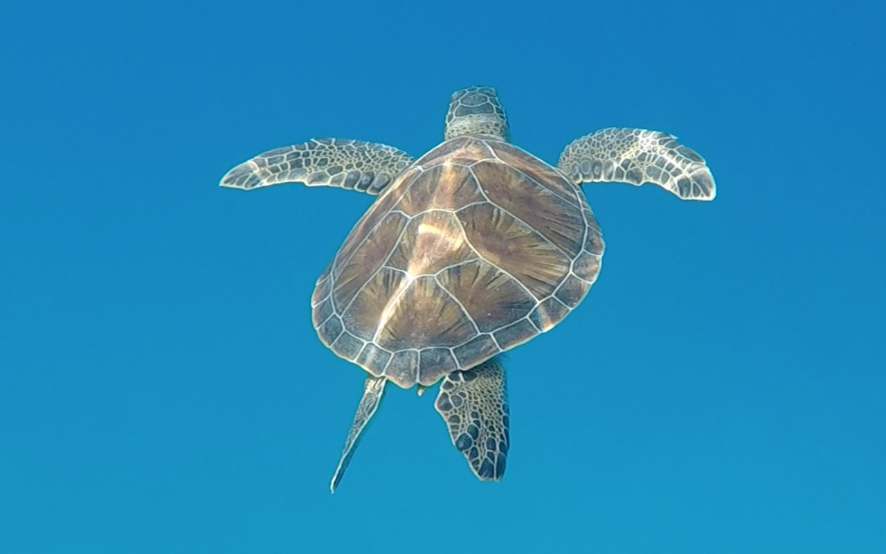 Loggerhead Turtles turkey