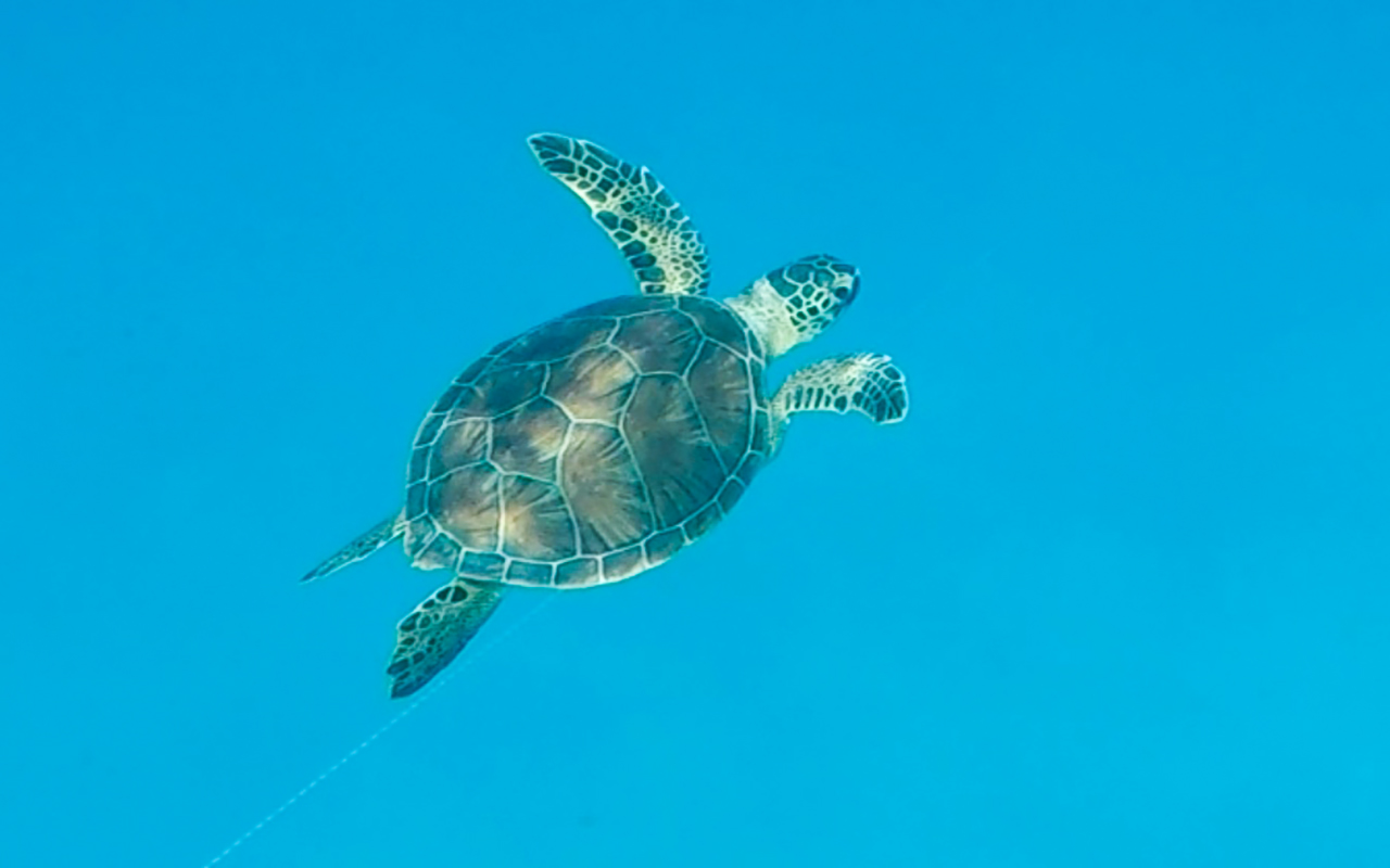 about Loggerhead Sea Turtles